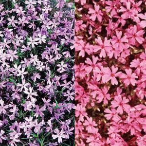 草花の苗/芝桜(シバザクラ):2色4株セット(ダニエルクッション2株とエメラルドクッションブルー2株)