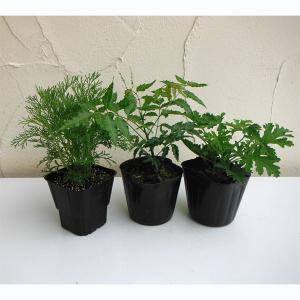 ハーブの苗/人気の虫よけハーブ3品種セット:ニーム・蚊連草・カよらず
