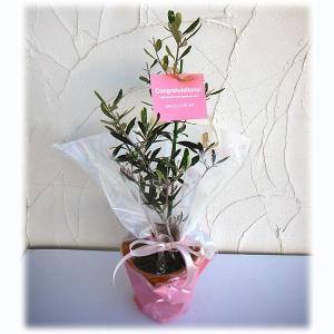 花木 庭木の苗/苗木ギフト:オリーブ ピクアル「おめでとうございます」カード付|engei