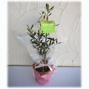 花木 庭木の苗/苗木ギフト:オリーブ ピクアル「ありがとうございました」カード付|engei