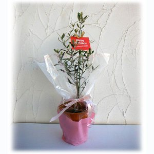 花木 庭木の苗/苗木ギフト:オリーブ ピクアル・「お誕生日おめでとう」カード付|engei