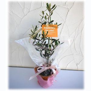 花木 庭木の苗/苗木ギフト:オリーブ ピクアル・「特別なあなたへ」カード付|engei