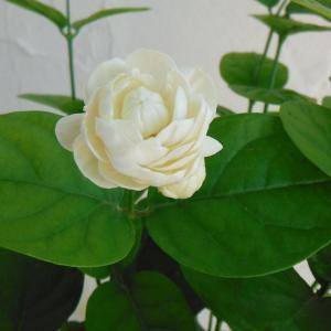 草花の苗/マツリカ(八重咲き):グレイスフルレディ ジェイド3.5号ポット|engei