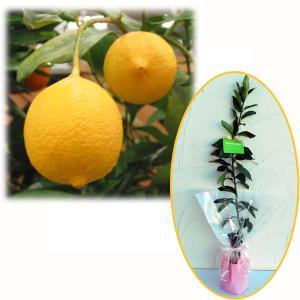花木 庭木の苗/苗木ギフト:レモン:リスボンレモン「ありがとうございました」カード付|engei