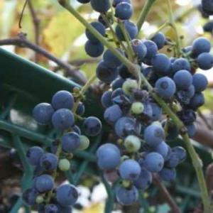 果樹の苗/ヤマブドウ(山葡萄・山ぶどう):一才山ブドウ3〜3.5号ポット|engei