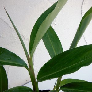 月桃(ゲットウ)はショウガの仲間で、沖縄に自生する植物です。茎葉にさわやかな香りがあり、沖縄では消臭...