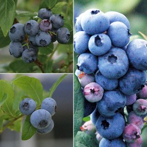 果樹の苗/ブルーベリー:ハイブッシュ系3種受粉樹セット5号苗(デューク・スパルタン・エリザベス)|engei