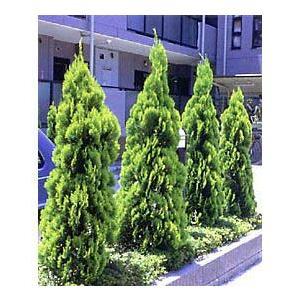 花木 庭木の苗/タチコノテ(コノテガシワ):エレガンティシマ樹高1.5m根巻き