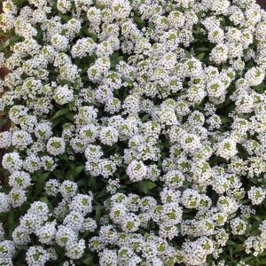 草花の苗/アリッサム:シルバー3.5号3株セット
