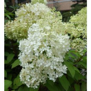 ノリウツギはアジサイの一種、日本原産の初夏の花です。リトルホイップ(ボボ)はコンパクトにまとまる矮性...