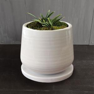 観葉植物/ギフトに 万年青 (おもと) :群雀  もえ白S植え・受け皿付き|engei