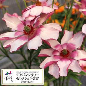 草花の苗/ラナンキュラス:ラックスシリーズ リュキア3.5号ロングポット