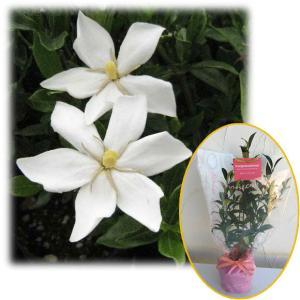 花木 庭木の苗/苗木ギフト:実成りクチナシ・「おめでとうございます」カード付|engei