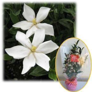 花木 庭木の苗/苗木ギフト:実成りクチナシ・「お誕生日おめでとうございます」カード付|engei