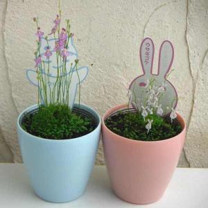 観葉植物/食虫植物:ミミカキグサクリオネとウサギゴケのセット