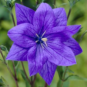 草花の苗/八重咲キキョウ(HAKONE)紫色3号ポット 4株セット