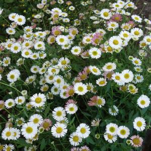バラの苗/バラに合う宿根草の苗:エリゲロン カルビンスキアヌス3〜3.5号ポット1株|engei
