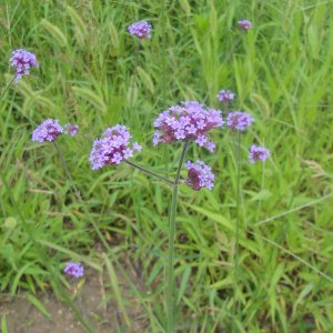 バラの苗/バラに合う宿根草の苗:バーベナ:ボナリエンシス3.5号ポット 1株|engei