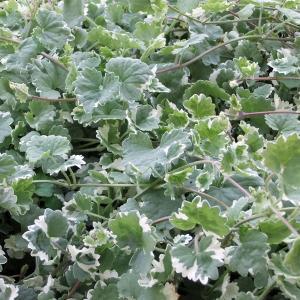 バラの苗/バラに合う宿根草の苗:斑入カキドオシ(グレコマ)3号ポット 1株|engei