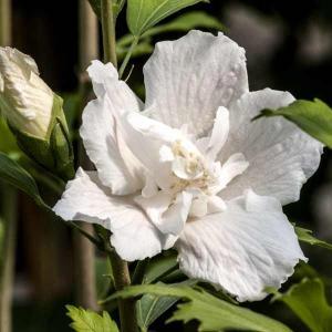 花木 庭木の苗/ムクゲ(槿):ホワイトピラー4号ポット