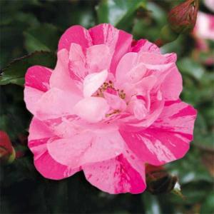 バラの苗/フラワーカーペットローズ:ピンクスプラッシュ3.5号ポット