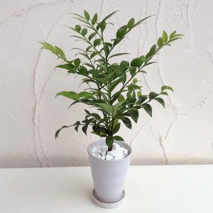 観葉植物/梛(ナギ)の木4号陶器鉢植え|engei