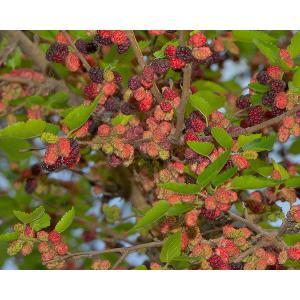 昔懐かしい桑の実。ブドウのように発酵させて果実酒もつくられます。ジューシーで甘い果実はとても美味です...