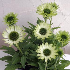 夏の花、エキナセア。印象的な花が花壇で人気です。夏の暑さに負けずに開花し続けます。切花やドライフラワ...