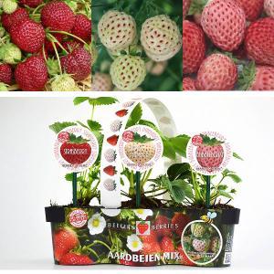 野菜の苗/イチゴ:ベーカーズベリー3種セット|engei
