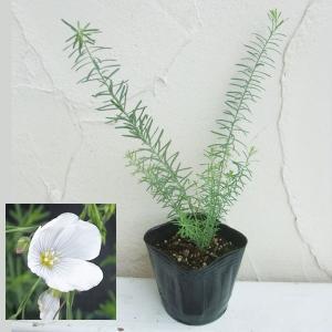 バラの苗/バラに合う宿根草の苗:フラックス(アマ):ペレニアルホワイト3号ポット 1株|engei