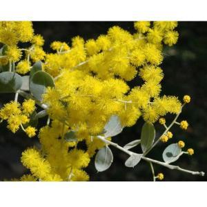 真珠色の葉色とビロードのような葉の質感から名前がイメージされるアカシアです。花も大きく甘い香りがする...