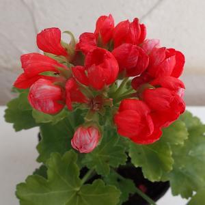 草花の苗/チューリップ咲きゼラニウム:レッドパンドラ3号ポット|engei