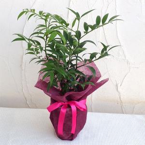 ギフトに 梛(ナギ)の木4号陶器鉢植え・ラッピング付き|engei