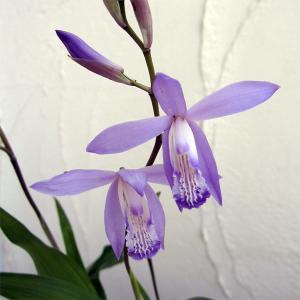 シラン(紫蘭)は日本原産のランの仲間。寒さ暑さに強くて育てやすく、上品で美しい多年草です。鉢植えや和...