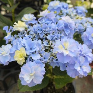 ★この商品は苗木です★庭植え向きの丈夫さを持ち合わせながら、花がバラエティーに富み美しく、毎年よく咲...