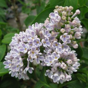 花木 庭木の苗/ライラック:リラワンダー5号ポット