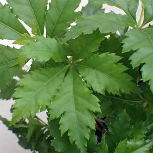 観葉植物/パセノシッサス・ヘンリアナ 3号ポット...
