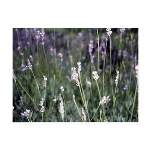 ラバンディン系はイングリッシュラベンダー(アングスティフォリア系)(L.angustifolia)×...