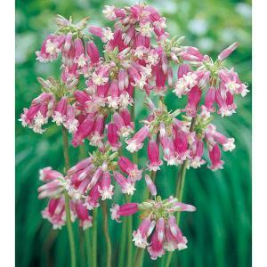 ディケロステンマは北アメリカ西海岸の明るい丘陵地などに自生する球根植物。別名をブローディア・イダマイ...