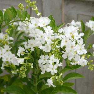 夏の鉢花として人気のデュランタ。細い枝をたくさん伸ばし、白い花を次々に咲かせます。夏の暑さに強く、鉢...