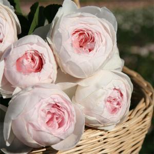 バラの苗/つるバラ:クリスティアーナ 大苗長尺6号ポット