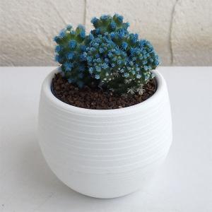 カラフルなお花のような色合いが楽しいサボテンです。マミラリア・グラシリスはアリゾナスノーキャップとも...