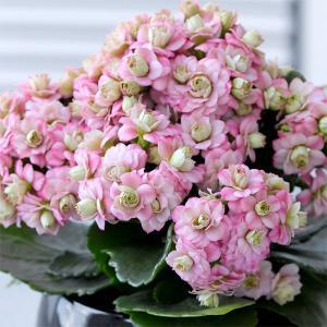 カランコエ:クイーンモアフラワーズ ピンクパリ4号鉢植え