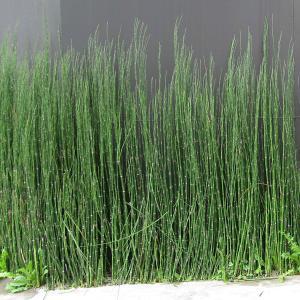 日本的情緒のある常緑多年草で、昔から茶花としても利用されてきました。節の重なりからできた立ち姿がユニ...