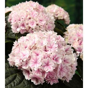 花木 庭木の苗/アジサイ:プリンセス シャーロット3号ポット