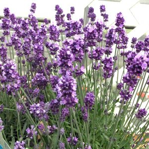 「センティヴィア」は、ご家庭でも 大変育てやすいうえに、花がたくさん咲いて長く楽しめる、ガーデナーに...