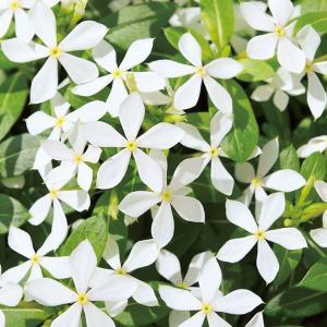 草花の苗/ニチニチソウ:フェアリースタークリアホワイト3.5号ポット|engei
