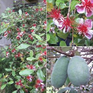 花木 庭木の苗/フェイジョア:クーリッジ樹高1.2m根巻き |engei