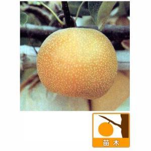 果樹の苗/ナシ(梨):コウスイ(幸水)4〜5号ポット...