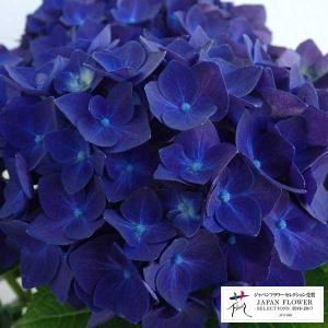 ★この商品は苗木です★デンマークSchroll社で育種された初めての濃い紫色のハイドランジア。黒みが...